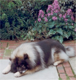 Keeshond Pictures