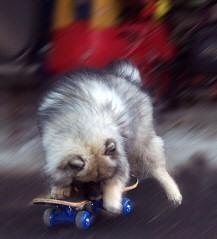 Keeshond Skateboarding